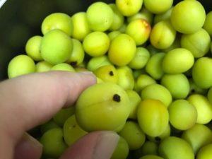 甘いカリカリ梅の作り方2