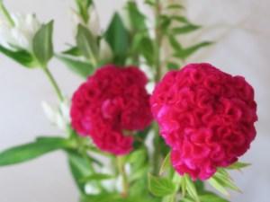 お供えする花の種類ケイトウ