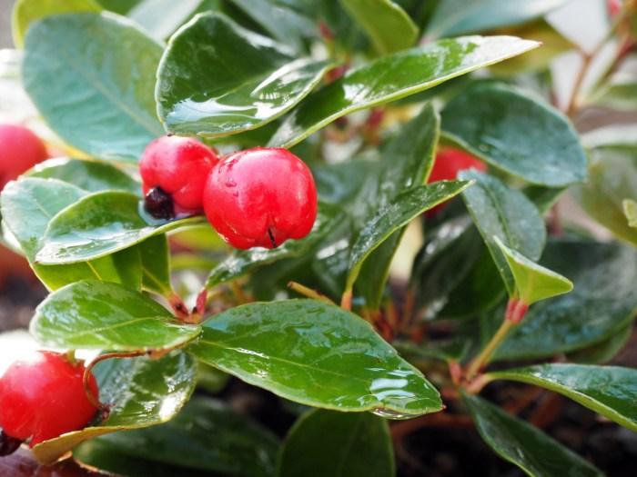 クリスマスに飾る赤い実の名前