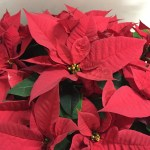クリスマスの赤い葉っぱの名前は?