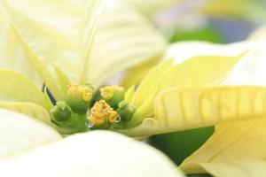 ポインセチアの花言葉を色別に紹介白の場合