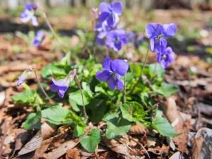 春の雑草の花の名前紫色スミレ