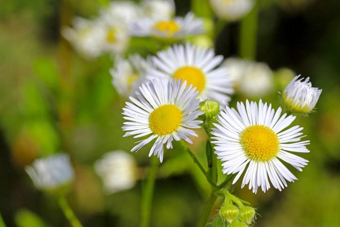 春の雑草の花の名前白い花ヒメジョオン