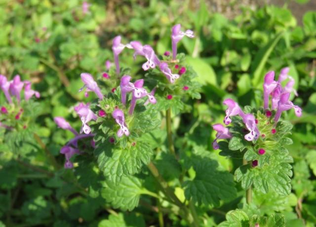 春の雑草の花の種類ピンクの花をつけるもの