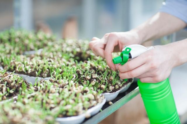 食用ほおずきは固定種ばかり?種の取り方も