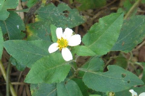 咸豐草白色舌狀花瓣較小