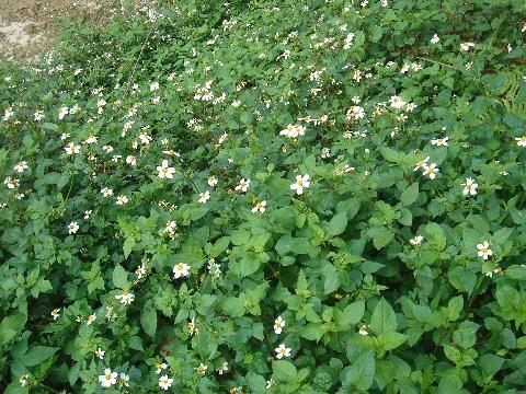 大花咸豐草繁殖力旺盛