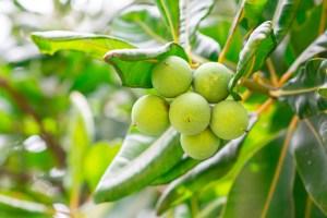 tamanu oil benefits for skin