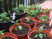 start seedlings in small containers before transferring them to garden beds or larger containers, particularly in harsh weather