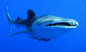 swimming-whale-shark