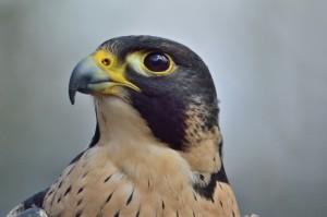 peregrine-falcon-371610_1280