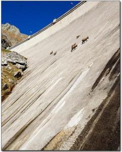 goats_big
