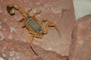 (Leiurus quinquestriatus) Dodsskorpion