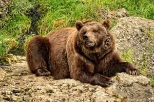 bear-874680_1920