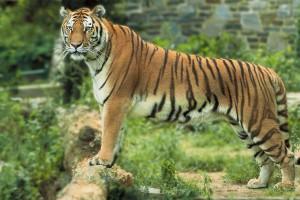 bengal-tiger-601965_1920