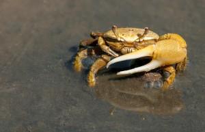 crab-79156_1280
