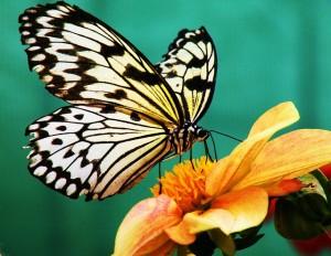 butterfly-991394_640