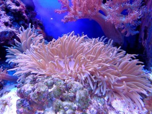 coral-1053834_640