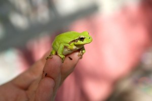 frog-618927_640