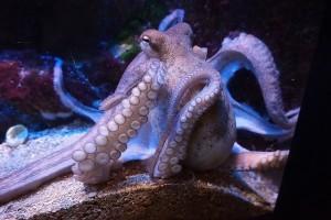 squid-832175_640