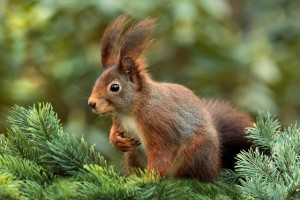 squirrel-619968_640