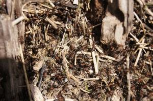 ants-187655_640