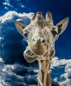 giraffe-882127_640