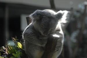 koala-966567_640