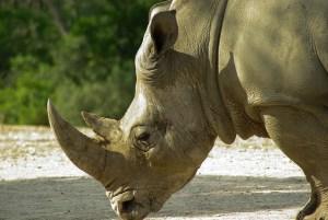 rhinoceros-783310_640