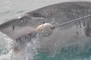 shark-892669_640