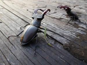 stag-beetle-864548_640
