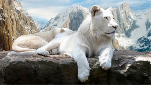11-white-lions