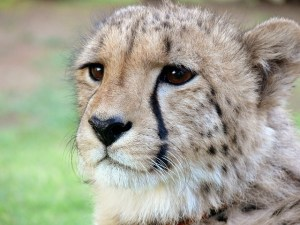 cheetah-275989_640