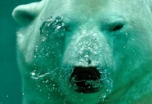 polar-bear-484515_640