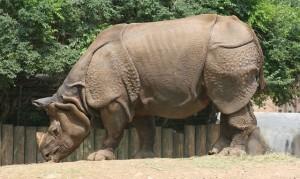 rhinoceros-709477_640