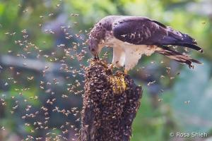 hbwcontest_crested_honey-buzzard