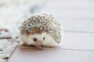 hedgehog-468229_640