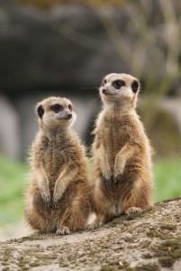 meerkat-1099578_640
