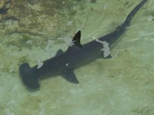 hammerhead-shark-298238_640
