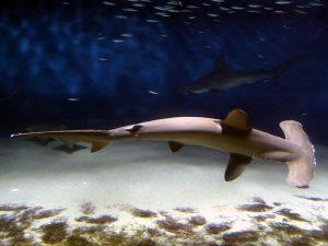 hammerhead-shark-586807_640