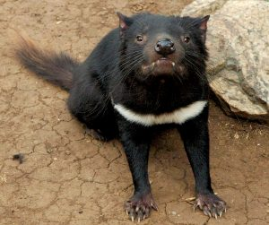Tasmanian_devil_head_on