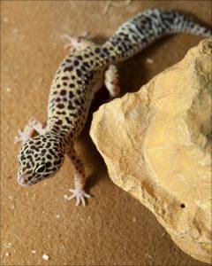 afghan_leopard_gecko