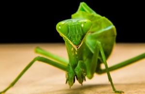 praying-mantis-190168_640
