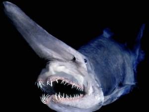 goblin-shark04