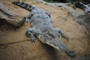 slender-snouted_crocodile