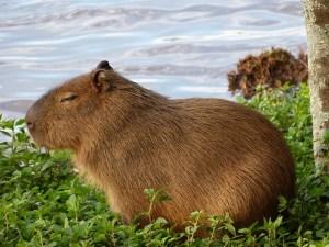 capybara-977101_640