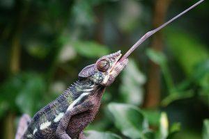 chameleon-1154457_640