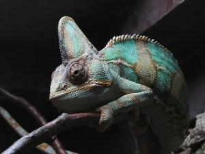 chameleon-1235145_640