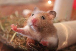 hamster-1000846_640