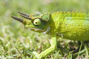 jacksons-chameleon1